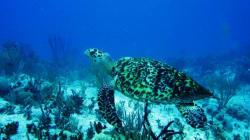 Nacen más de 103 mil crías de tortuga marina del Golfo de
