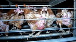 130 ONG lancent une gigantesque pétition pour contraindre l'UE à interdire les élevages en