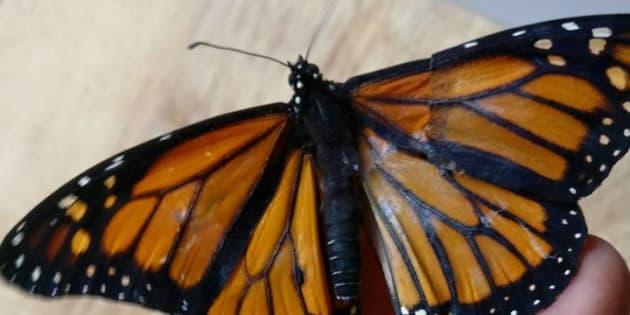 Aile De Papillon grâce à ses talents de couturière, elle réussit une greffe d'aile de