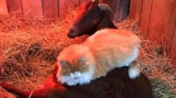 The Tale Of A Pregnant Goat With A Cat As Its Midwife Is Pretty