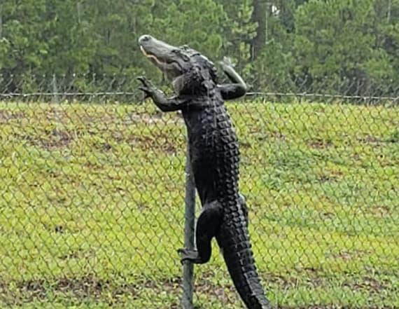 Alligators in Florida can now climb fences