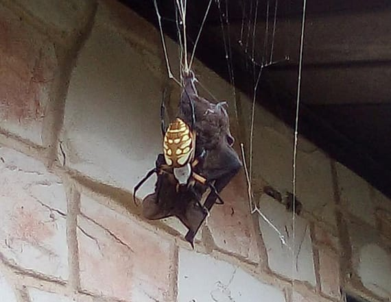 Photos show gruesome moment spider devours large bat