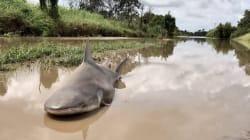 Le cyclone Debbie laisse un requin dans la rue en