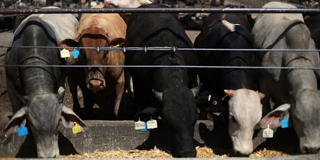 Ganado vacuno certificado se alimenta en una planta de procesamiento de carne de SuKarne en la ciudad de Vista Hermosa, en el estado de Michoacán, México, el 31 de marzo de 2017.