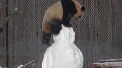Quand un panda joue à la bagarre avec un bonhomme de