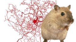 On a enfin découvert ce qui différencie notre cerveau de celui des