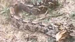 Una bambina dà l'allarme: catturato un pericoloso boa constrictor nel Parco dell'Appia Antica di
