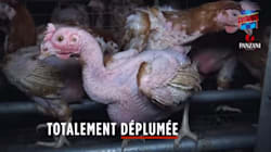 L214 épingle un élevage de poules en Vendée et interpelle