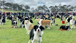 More Than 500 Border Collies Attempt Cutest Ever World Record