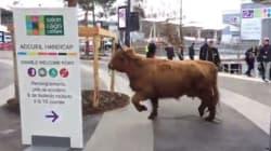 Et soudain, cette vache décida de s'échapper du Salon de