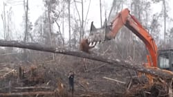 Un orangután ataca a una excavadora ilegal que amenaza su hábitat en