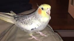 Une perruche imite la sonnerie de l'iPhone à la