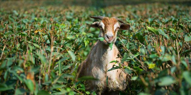 Representational image of a goat.