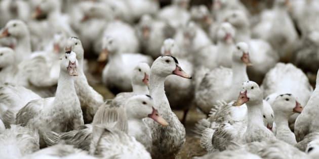 Après trois semaines de chômage technique, les éleveurs de canards peuvent reprendre le travail