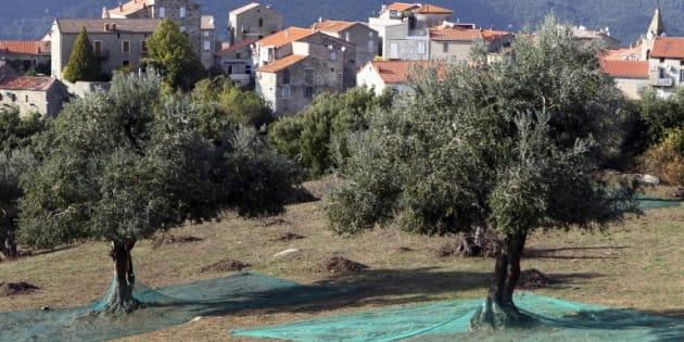 """La bactérie """"tueuse d'oliviers"""" détectée pour la première fois sur des arbres en Corse"""