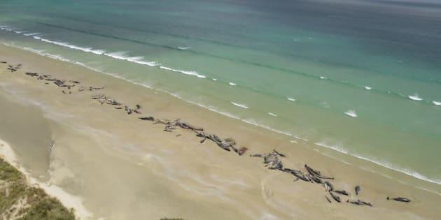 Les 150 cétacés ont été retrouvés échoués ce 26 novembre sur une plage reculée de l'île Stewart, en Nouvelle-Zélande.