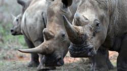 China retrocede 25 años y legaliza el cuerno de rinoceronte para uso