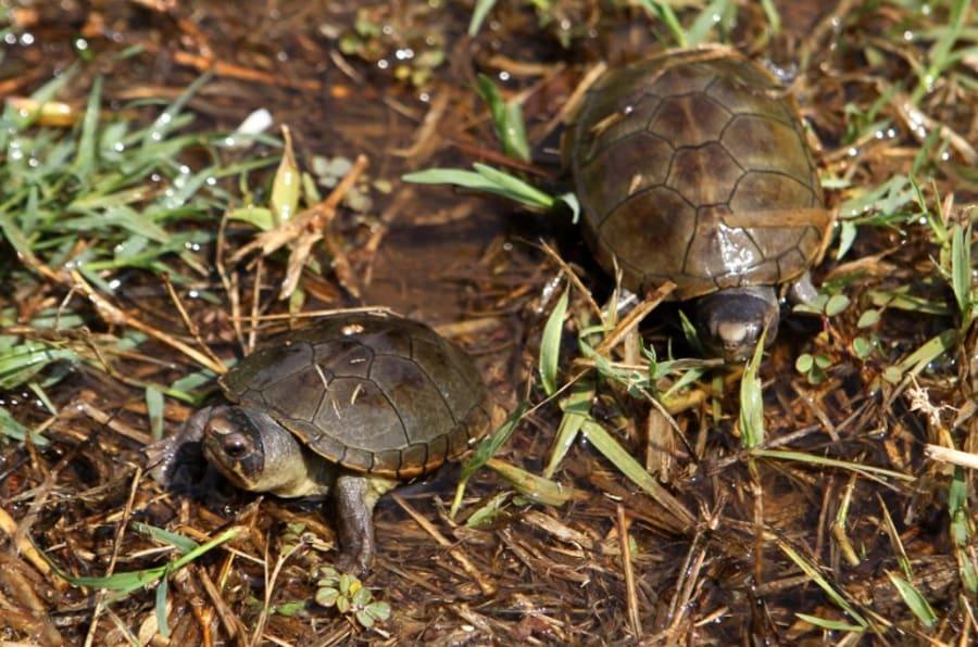 Imagen de dos tortugas de una especie recién reconocida como endémica de México.