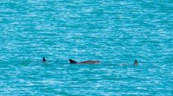 Avistamiento de la vaquita marina: un rayito de esperanza para