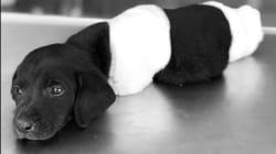 Cómo el trágico final de un cachorro ha revolucionado las elecciones en