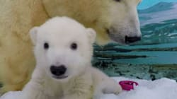 Sea World's Newest Polar Bear Cub Comes Out To