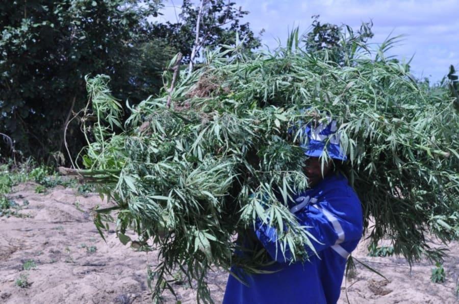 Os produtores de cannabis, camuflada nas roças de mandioca, associaram-se ao crime organizado.
