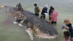 📷 La muerte de una ballena con más de mil objetos de plástico en su