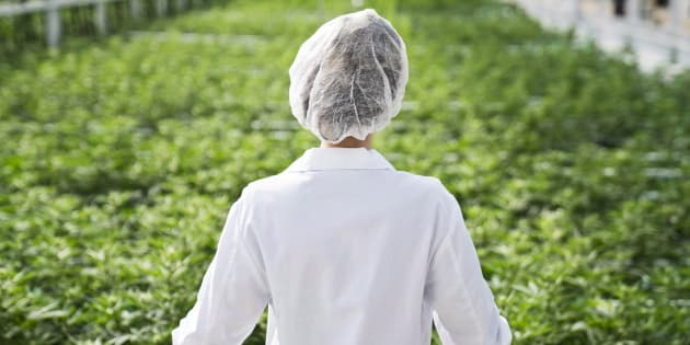 An Aphria worker look out over a crop of marijuana in an undated handout image.