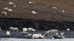 200 ours polaires amassés sur une île arctique russe à cause du réchauffement