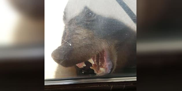 A black bear gnaws at a door after it was locked outside after following a 2-year-old girl inside a a Gibsons, B.C. home on Saturday.