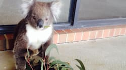 A Man Has Befriended A Koala After Brushing Pesky Prickles Out Of Its