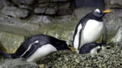 Una pareja de pingüinos macho, papás en el Acuario de