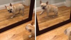 Um bulldog francês. Um espelho. E a imagem exata de sua reação ao se ver pela