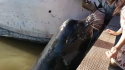 Infamous B.C. Sea Lion Clip Is YouTube Canada's Most Popular Video This