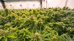 La marijuana légale doit concurrencer le marché noir, dit Bill