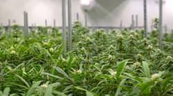 Cannabis: une usine du Québec obtient le permis de