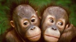 Gli oranghi potrebbero sparire nei prossimi 50 anni. Ecco L'alleanza per