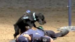 Poncho, le chien policier qui fait des massages cardiaques, est un vrai bourreau des