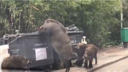 Pigzilla: el jabalí gigante que fue captado hurgando basura en Hong