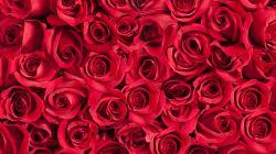 Per conquistarla le invia 1.800 rose, lei: