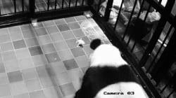 Rosado y pequeñísimo, revelan las primeras imágenes del panda