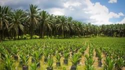 Così si produce l'olio di palma: virtual