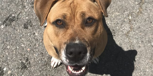 Brock, pictured, is one of only two dogs that has not been put down at a Gander shelter after a deadly virus was discovered in a rescue puppy.