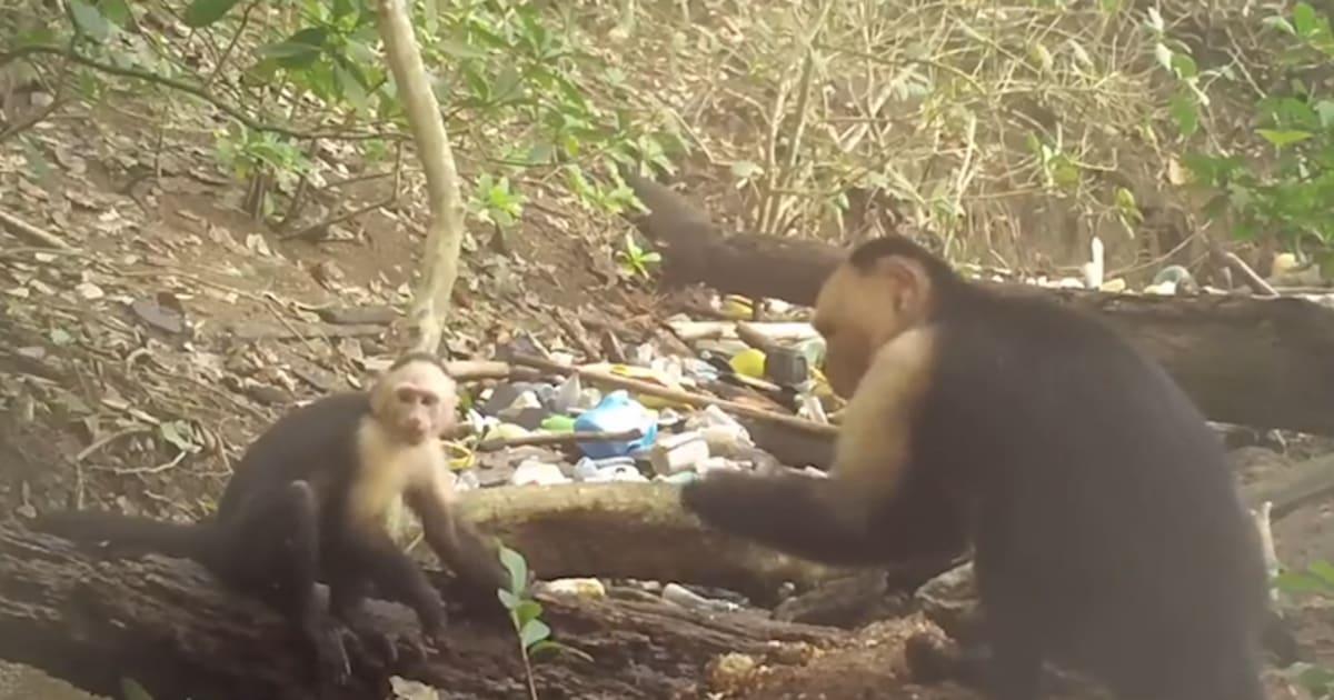 """Résultat de recherche d'images pour """"Des singes du Panama seraient entrés dans l'âge de pierre"""""""