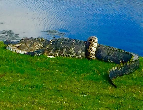 Alligator and python 'tangle' on golf course