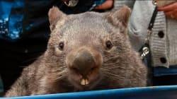 Patrick le Wombat, star du web, est