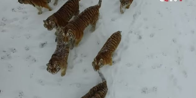 Tigers chased a drone and the internet loved every bit of it