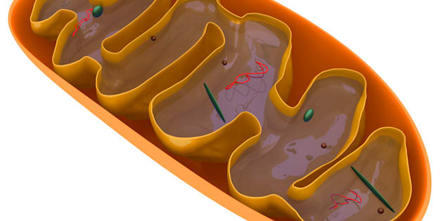 Digital medical illustration: Microscopic cross section of a mitochondrion featuring: