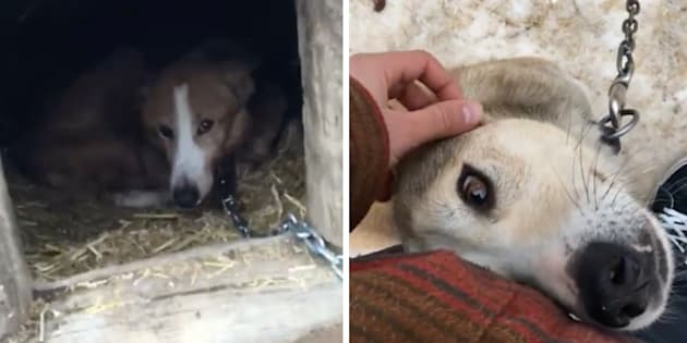 Ontario SPCA investigating alleged animal abuse at dog sledding company