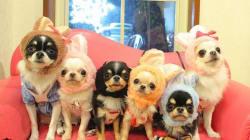 Esta família de chihuahuas representa a Extraordinária Família